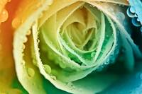 Rainbow Bokeh Rose
