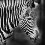 """Zebra Portrait"" by walbyent"