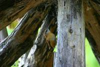 Carolina Wren Travelling Up