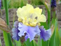 Bearded Irises art prints Flora Yellow Purple Iris