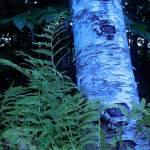 """""""Birch Tree with Fern"""" by ShaneWells"""