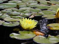 Yellow Water Lily 2