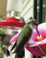 Humming Bird a Feeding!