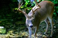 Winking White Tail Deer