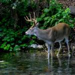 """Whitetail on alert in stream"" by TealWingPhotography"