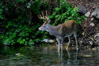 Whitetail on alert in stream