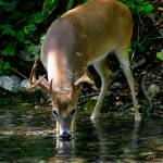 """Alert Whitetail Buck Drinking From River"" by TealWingPhotography"