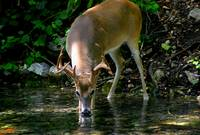 Alert Whitetail Buck Drinking From River