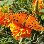 """Orange Butterfly Checking Out the Marigold"" by PjCreates"