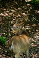 Whitetail Buck Looking Back