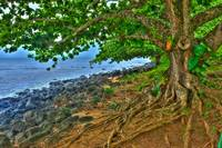 Gnarled Tree on Kauai Coast