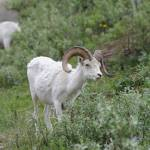 """Alaskan Dall Sheep"" by WildAmericanPhotos"
