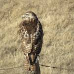 """Hawk"" by anniepics"