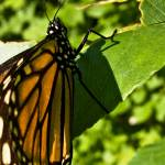 """Monarch Brilliance"" by CCYPhotography"