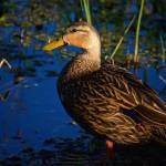 """Mottled Duck"" by MarkAndrewThomas"