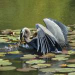 """Great Blue Heron Catches A Frog"" by cool_pix_dude"