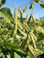 Soybeans in Autumn