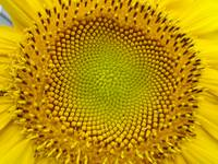 Sunflower Center #1