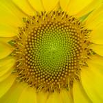 """Sunflower Center #3"" by TheCalhounPictureShow"