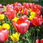 """""""Tulip Garden"""" by TheCalhounPictureShow"""