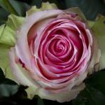 """""""Pink Rose Spiral"""" by lightningman"""