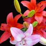 """Red & Pink Lilies #2"" by budo"