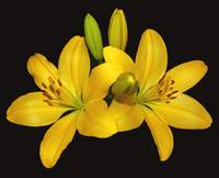 Pair of Yellow Lilies