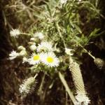 """Flowering Fleabane"" by moonlitarts"
