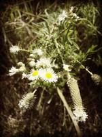 Flowering Fleabane