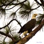 """Bald Eagle"" by DAJOPHOTOS"