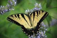 A Tiger Swallowtail Butterfly enjoying nectar