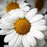 """""""Daisy dream"""" by ElisaPhotographer"""