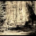 """Bull Buck Sequoia, Nelder Grove"" by GlennMcCarthyArtPhoto"