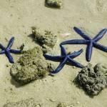 """""""Blue star fish Fiji"""" by jeffreysinnock"""