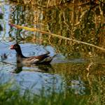 """Common Moorhen Cruising"" by TealWingPhotography"