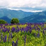 """""""Lupine Landscape"""" by jamisonsyphersphotography"""