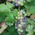 """Grapes2"" by WildAmericanPhotos"