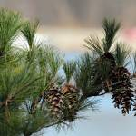 """PineCones1"" by WildAmericanPhotos"