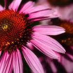 """CONEFLOWER"" by tmckinleyphotography"