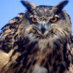 """EAGLE OWL"" by tmckinleyphotography"