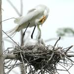 """FEEDING EGRET"" by tmckinleyphotography"