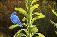mountain bluebird on mullein