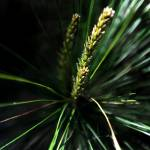"""PINE BUD"" by tmckinleyphotography"