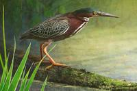 mossy log and green heron