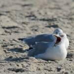 """Sleepy Seagull"" by WildAboutNaturePhotography"