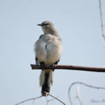 """Northern Mockingbird"" by WildAboutNaturePhotography"