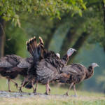 """Wild Turkeys"" by WildAboutNaturePhotography"