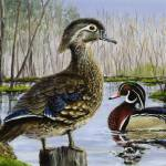 """Wood Duck"" by PaulGardner"