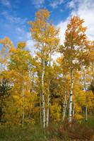 Colorado Autumn Aspens
