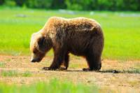 Alaskan Brown Bear 1